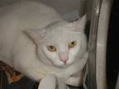 Adopt SNOWBALL a White (Mostly) Domestic Shorthair / Mixed (short coat) cat in