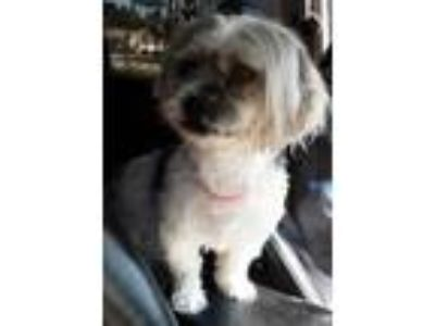 Adopt Princess a White Shih Tzu / Mixed dog in Georgetown, SC (25322532)