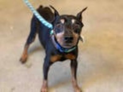 Adopt REX a Black - with Tan, Yellow or Fawn Miniature Pinscher / Mixed dog in