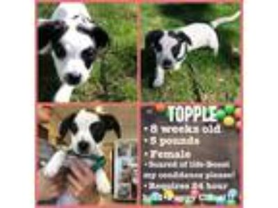 Adopt Topple a American Staffordshire Terrier / Dachshund / Mixed dog in Utica