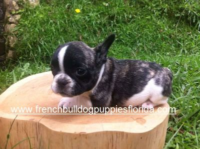 French Bulldog PUPPY FOR SALE ADN-75888 - French Bulldog Puppies Florida 1700