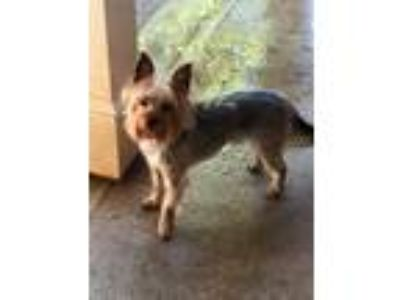 Adopt Coco a Yorkshire Terrier