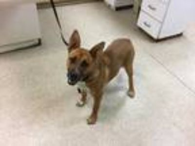 Adopt Dog a Brown/Chocolate - with White German Shepherd Dog / Mixed dog in