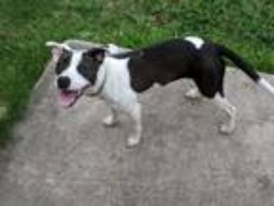 Adopt Lacey a Pit Bull Terrier / Terrier (Unknown Type, Small) / Mixed dog in