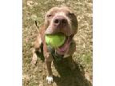 Adopt Miles a Pit Bull Terrier