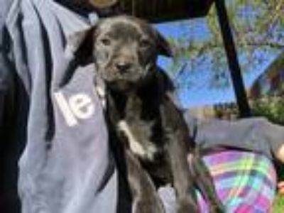 Adopt Reid a Black - with White Cattle Dog / Labrador Retriever / Mixed dog in
