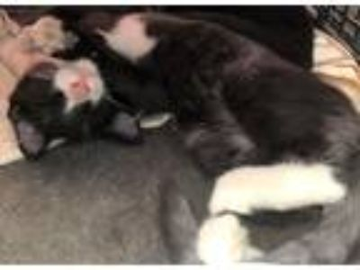 Adopt kittens a Black & White or Tuxedo Domestic Mediumhair (medium coat) cat in