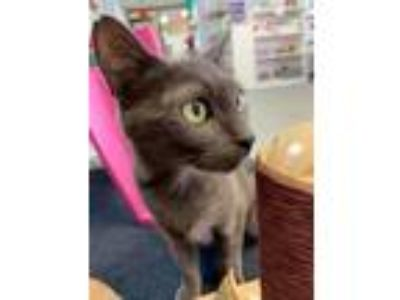 Adopt Princess Charolette a Gray or Blue Domestic Shorthair (short coat) cat in