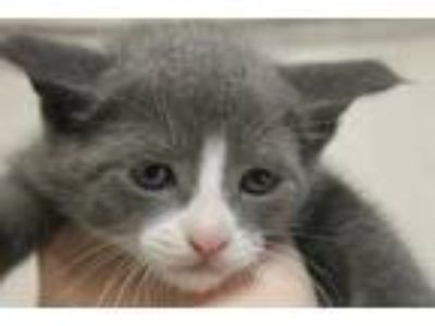 Adopt JOHNNY a Gray or Blue Domestic Shorthair / Domestic Shorthair / Mixed cat