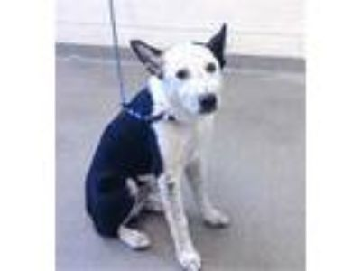 Adopt BARK TWAIN a Black - with White Border Collie / Mixed dog in West Valley