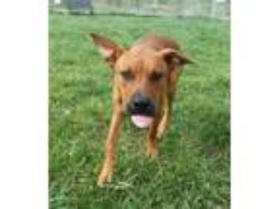 Adopt Bronze a Red/Golden/Orange/Chestnut American Pit Bull Terrier / Mixed dog