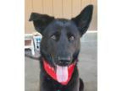 Adopt Lorraine a Black Belgian Shepherd / Mixed dog in Canoga Park