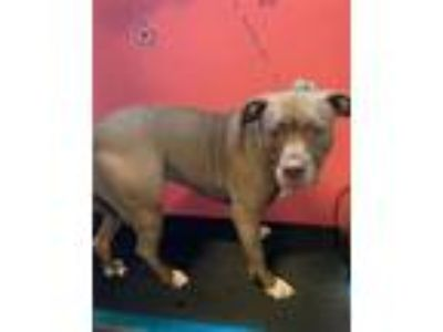 Adopt GILDA a Pit Bull Terrier, Mixed Breed