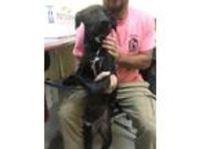 Adopt Jam a Labrador Retriever / Mixed dog in Dyersburg, TN (25892660)