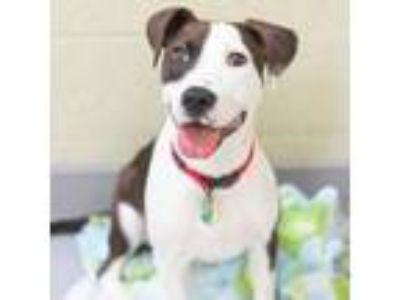 Adopt Gracie a Hound, Mixed Breed