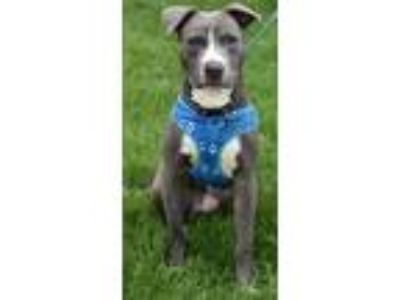 Adopt Billy a American Staffordshire Terrier, Pit Bull Terrier