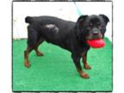 Adopt BRONCO a Black - with Tan, Yellow or Fawn Rottweiler / Mixed dog in