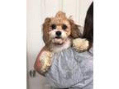 Adopt Jimmy a Tan/Yellow/Fawn - with White Havanese / Poodle (Miniature) / Mixed