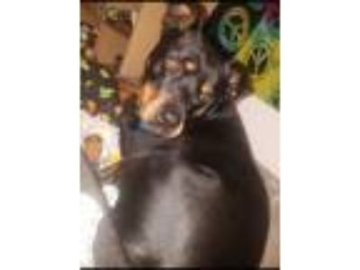 Adopt Max a Black - with Tan, Yellow or Fawn Rottweiler / Doberman Pinscher /