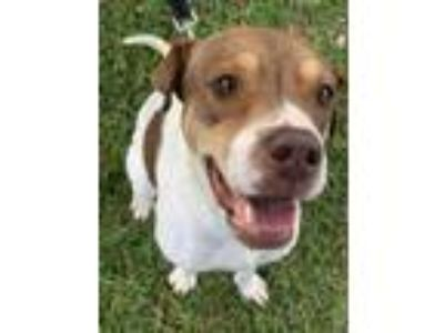 Adopt lilies a Brown/Chocolate American Pit Bull Terrier / Mixed dog in