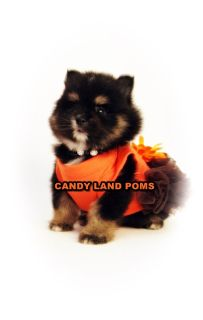 Pomeranian Teddy Bear puppies BOO
