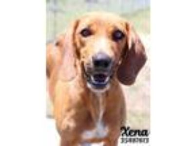 Adopt Xena a Red/Golden/Orange/Chestnut Hound (Unknown Type) / Mixed dog in