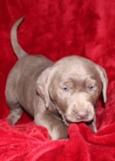 Jackie Female AKC Silver Labrador Retriever