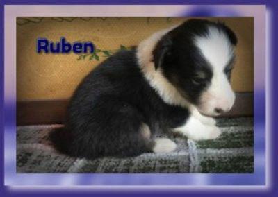Ruben Male Shetland Sheepdog