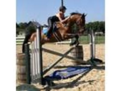 Collins Lovely Thoroughbred Gelding