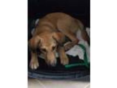 Adopt Danny a Tan/Yellow/Fawn - with White German Shepherd Dog / Saluki / Mixed