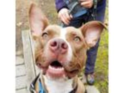 Adopt Willow a Tan/Yellow/Fawn American Pit Bull Terrier / Mixed dog in Menands