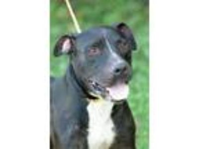 Adopt Roger / Remey / Stud a Pit Bull Terrier