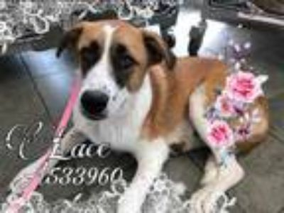 Adopt LACE a Brown/Chocolate - with White Anatolian Shepherd / Mixed dog in San