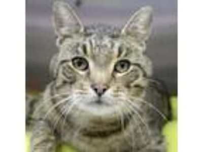 Adopt Victor a Brown Tabby Domestic Shorthair / Mixed (short coat) cat in