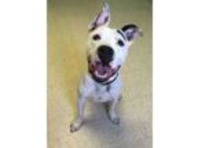 Adopt Champ a White American Pit Bull Terrier / Mixed dog in Altoona