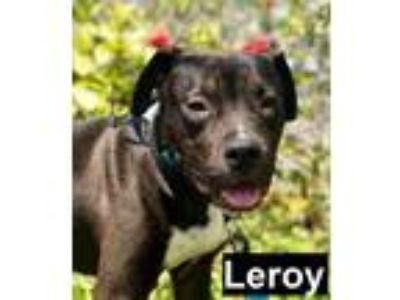 Adopt Leroy a Black - with White American Staffordshire Terrier dog in Lake