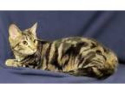 Adopt Molly Hooper a Domestic Short Hair, Bengal