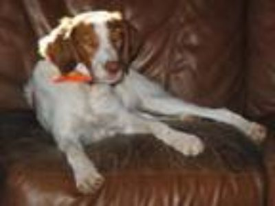 Adopt AR/Slim Jim (Bonded with Sassy) a Brittany Spaniel