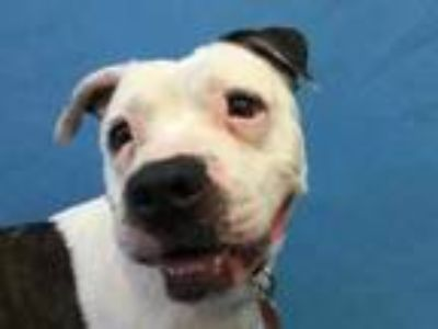 Adopt Fiona a White American Pit Bull Terrier / Mixed dog in Golden Valley