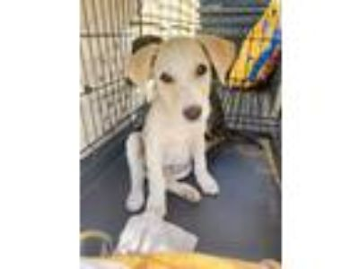 Adopt Kate Middleton a White Labrador Retriever / Mixed dog in NY, NY (25606845)