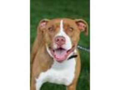 Adopt Max a Brown/Chocolate American Pit Bull Terrier / Mixed dog in Walla
