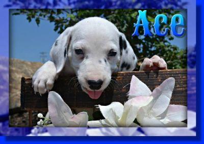 Ace Male AKC Dalmatian