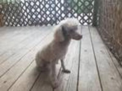 Adopt Tod a Red/Golden/Orange/Chestnut Poodle (Toy or Tea Cup) / Mixed dog in