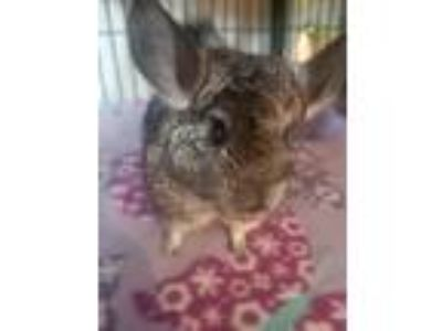 Adopt Hazel a Silver or Gray Chinchilla small animal in Lindenhurst