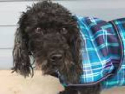 Adopt Layla a Poodle, Basset Hound