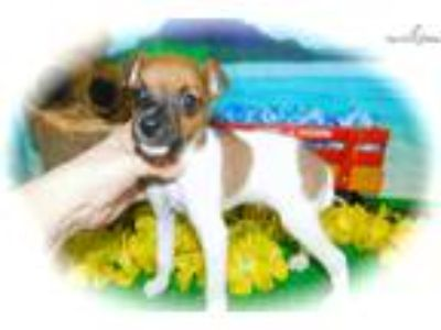 Chicago Rat Terrier Mix Type. Great for Kids.