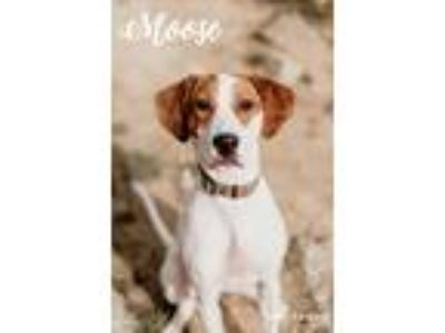 Adopt Moose a White - with Brown or Chocolate Beagle / Boxer / Mixed dog in