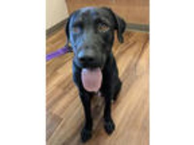 Adopt Cole a Black Labrador Retriever