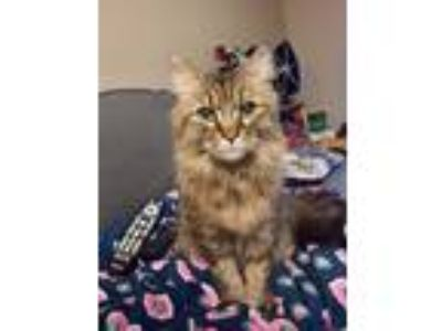 Adopt Mystery (aka M and Missy) a Maine Coon