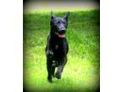 Adopt Dexter a Black Labrador Retriever / German Shepherd Dog / Mixed dog in